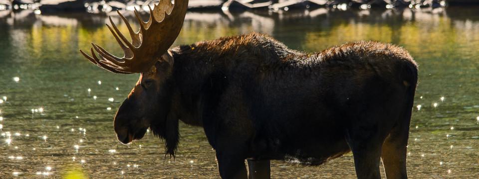 Aspen Colorado Moose
