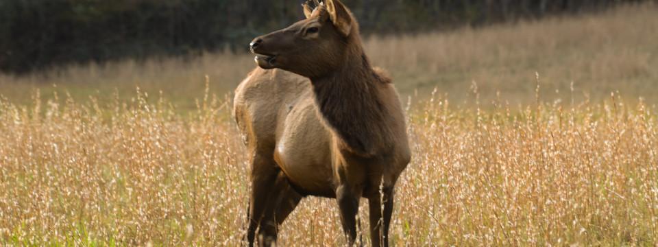 North Carolina Elk