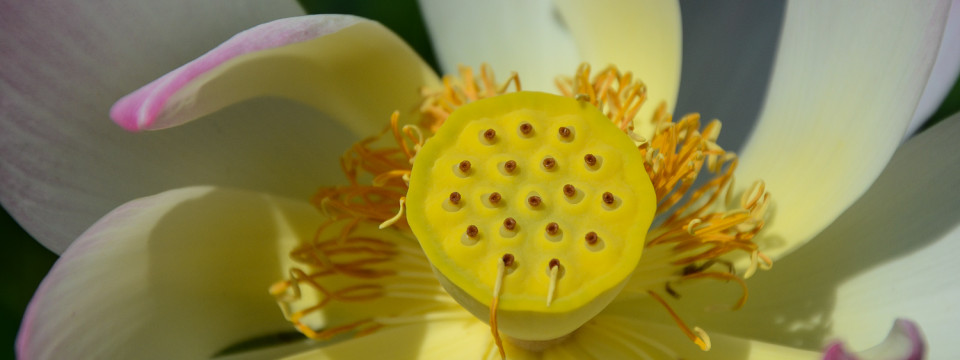 Open Lotus Blossom