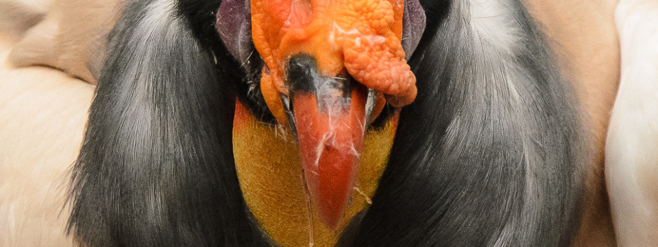 South American Vulture